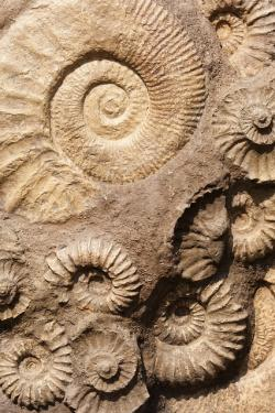 shell, fossil, old, ancient, stone, nature, rock