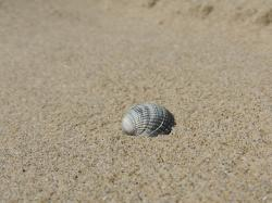 shell, sand, beach, summer, sea, water, nature