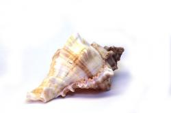 shell, snail, spiral, beautiful, isolated, mussels