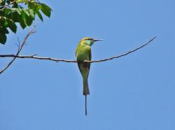 small green bee-eater, bird, india, sky
