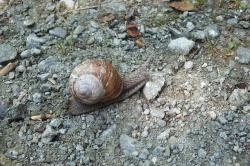 snail, shell, animal, nature