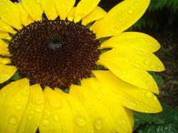 sonnebblume, close, raindrop, yellow