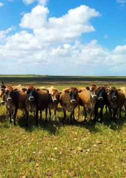 south africa, farm, farming, cattle, cows, countryside