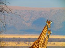 south africa, giraffe, africa, nature, animal, safari