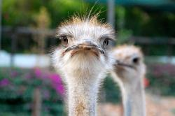 south africa, ostrich, eyes, africa, animals, bird