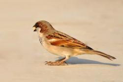 sparrow, bird, birds, nature, brown, feather, beautiful