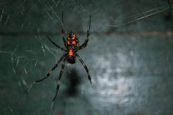 spider, tiger spider, poisonous, danger, dangerous