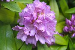 spring, flower, rhododendron