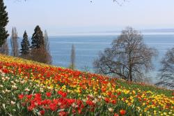 spring, mainau, tulips, flower, mainau island, red