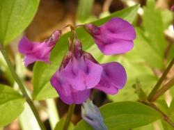 spring pea, fabaceae, plant, wild plant, flower, bloom