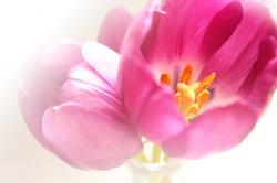 spring, tulip, flora, nature, flower, birthday, florist