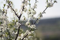 spring, white, bloom, nature, apple tree, leaves, natur