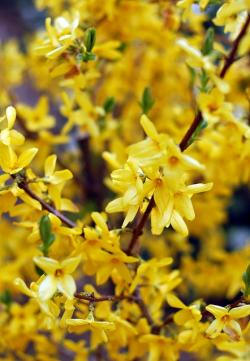 spring, yellow, flowers, forsythia, plant, background
