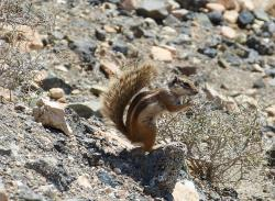 squirrel, chipmunk, cute, nager, furry, fur, pets