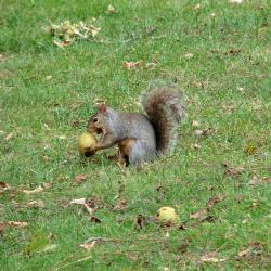 squirrel, eating grass, nature, outdoors, animal