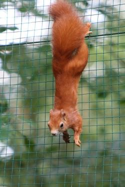squirrel, red, bushy, zoo, autumn forest, forest