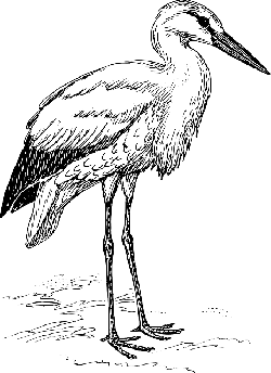 stork, animal, biology, bird, ornithology, zoology