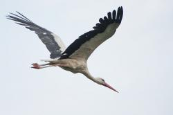 stork, bird, nature, summer, life, wings, white