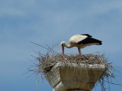 stork, bird, nest, bill