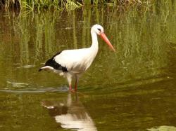 stork, water, waters, animal, bird