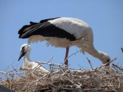 storks, animals, camargue