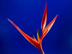 strelitzia, flower, red, orange, yellow