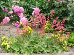 summer, garden, bed, plant, coral bells
