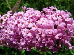 summer lilac, buddleja, flower, plant, colorful