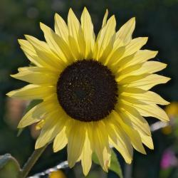 sun flower, flower, yellow, nature, plant