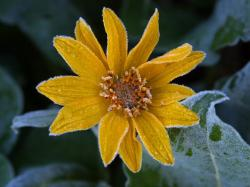 sun flower, frost, ice, icy, iced, cold, flower, nature