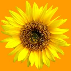 sun flower, sunflower, summer, flowers, sun, plant
