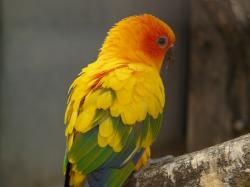 sun parakeet, south american, parrot, bird, animal