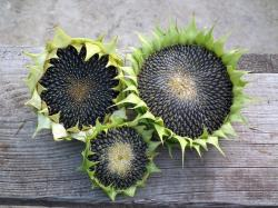 sunflower, autumn, seeds, fruit, harvest, wooden board