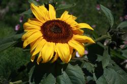 sunflower, flower, bloom, blossom, yellow, brown, green