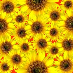 sunflower, flower, flowers, sun flower, yellow, sun
