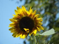 sunflower, flower, sky, yellow, leaves, blue sky