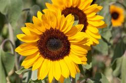 sunflower, helianthus annuus, flower, nature, yellow