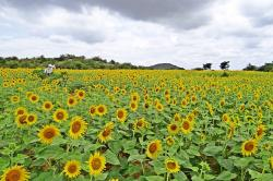 sunflower, karnataka, india, yellow, sunflowers