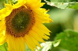 sunflower, nectar, pollen, collecting, sunflowers