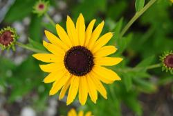 sunflower, sunflowers, yellow, summer, plants, flora