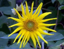sunflower, yellow, flora, summer, plant, flower