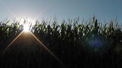 sunset, landscape, nature, cornfield, corn, field