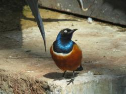superb starling, bird, wildlife, nature