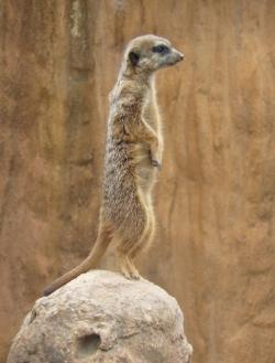 suricate, meerkat, zoo, animal