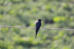 swallow, bird, bird wire, black bird, wire