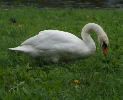 swan, animal, bird, white, feather