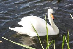swan, animal, water, waters, water bird, see, nature