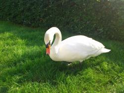 swan, bird, pets, birds, meadow