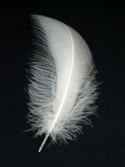 swan feather, spring, swan, slightly, airy, fly