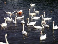 swan, lake, swimming, animals, poultry, birds, wildlife